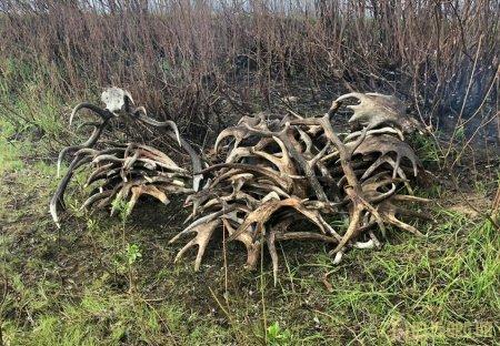Порушники радіаційного режиму збирали роги у зоні ЧАЕС