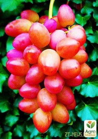 Талисман – это крупный виноград с высокими показателями урожайности