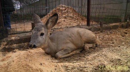 У Житомирі в районі залізничного вокзалу знайшли голодну і змучену козулю