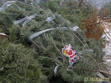 З 11 січня новорічні ялинки та сосни будуть приймати на утилізацію