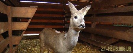 Козуля, яку врятували перехожі у Житомирі, житиме в контактному зоопарку