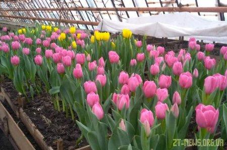 Цьогоріч у Житомирі планують висадити 80 тисяч квітів