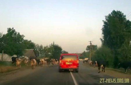 У Житомирській області стадо худоби допомогло поліції затримати п'яного водія
